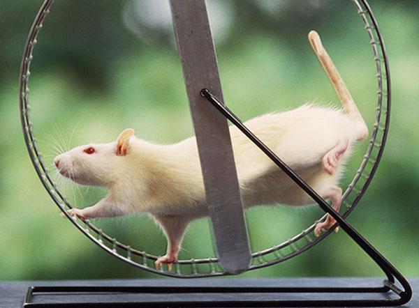 rat-in-a-wheel